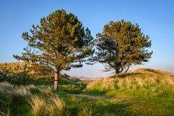 Two Pine Trees in Bamburgh Sand Dunes, on Northumberland's coastline AONB, as a sea fret approaches from the sea