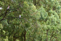 Two pink and grey Galahs (Eolophus roseicapilla) taking shelter from the wet weather, amongst foliage of a large eucalyptus tree; one looks at the camera, the other has it's head tucked away resting.