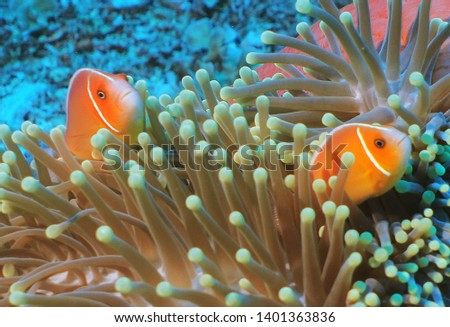 two Pink anemonefishes and anemone #1401363836