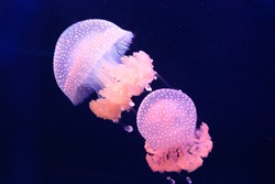 Two pink barrel jellyfish swimming in the dark water