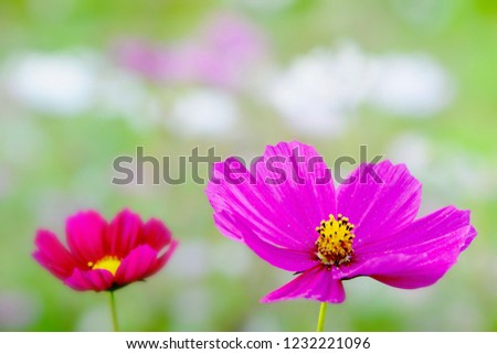 two pink cosmos