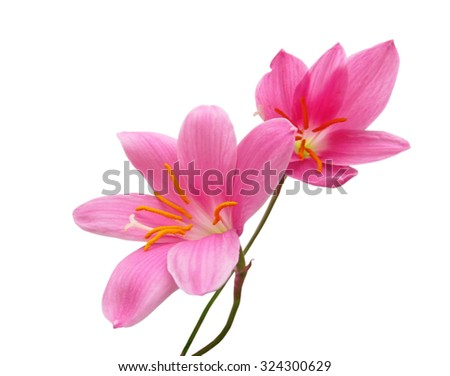 Two pink flower isolated on white background