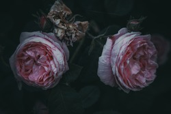 two pink flowers of rose bush. dark gothic background