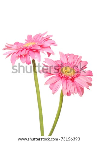 Two pink gerbers in asia zone