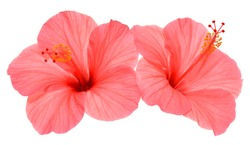Two pink hibiscus flowers isolated on white background. Flat lay, top view. Macro, object