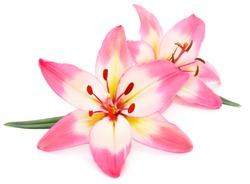 Two pink  lily isolated on white background.