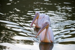 Two pink pelicans go fishing on the lake. adult pelicans on the lake. Shallow depth of field. Pelecanus onocrotalus.
