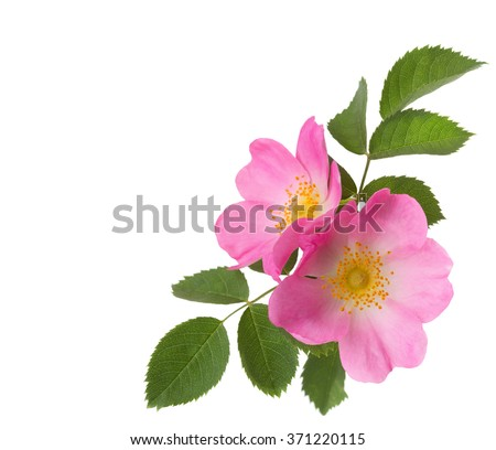 Shutterstock Two pink roses  isolated on white. Rosa canina