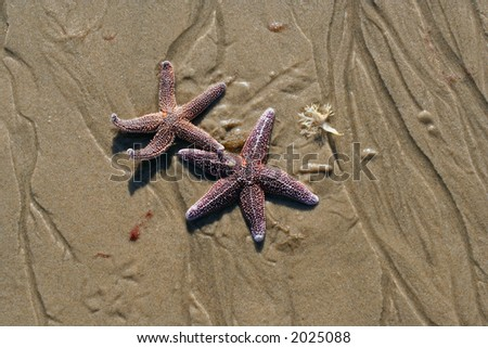 Two pink starfish on the wet sand.
