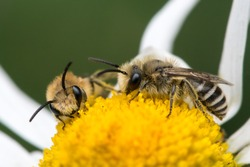 Two plasterer bees (Colletes daviesanus) feeding on oxeye daisy flower, North Devon, UK, Summer.