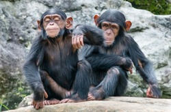 Two playful baby Chimpanzees sitting side by side.