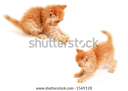 two playful orange Himalayan kittens