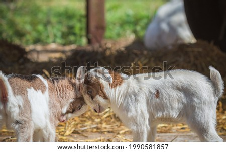 Two playful young goat kids butting heads at an English dairy farm in Norfolk Stock fotó ©