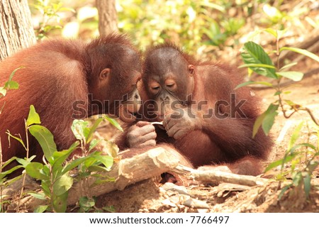 Two playful young Orang-Utan