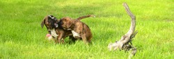Two playing boxer puppies in the garden