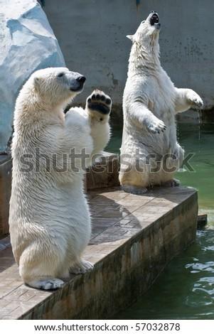 Two polar bears in the zoo