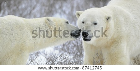 Two polar bears meeting on snow-covered tundra.