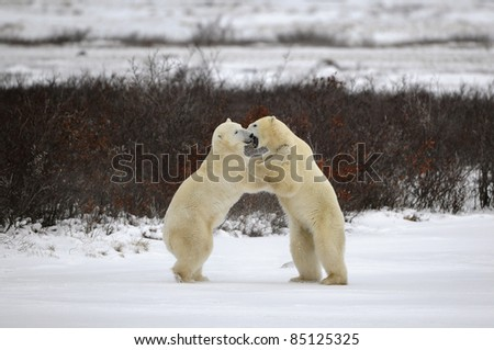 Two polar bears playfighting Hudson Bay Churchill Manitoba Canada