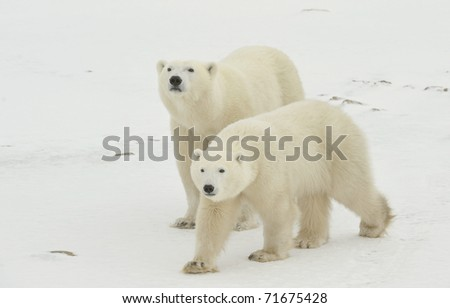 Two polar bears. Two polar bears go on snow-covered tundra one after another.It is snowing.
