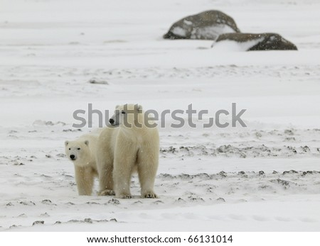 Two polar bears. 2 .Two polar bears in snow-covered tundra stand nearby. It is snowing.
