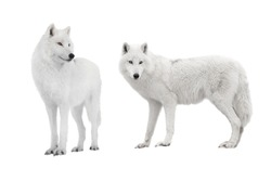 two polar wolf isolated on a white background.