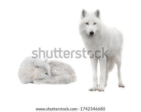 two polar wolf lies in snowy weather on a white background Сток-фото ©