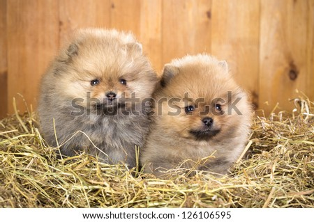 Two pomeranian puppy on a straw on a background of wooden boards