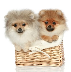 two Pomeranian Spitz Puppies (5 months)  in wicker basket on a white background