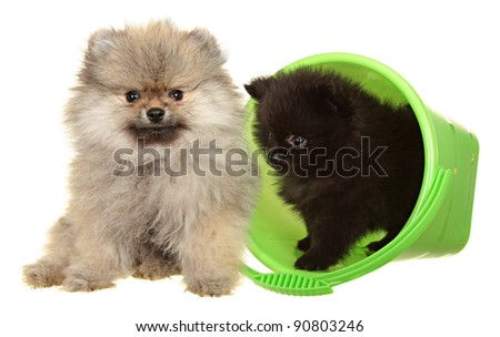 Two Pomeranian Spitz puppy on a white background . Spitz puppy in front of white background . Pomeranian dog isolated on a white background . Puppy in a green plastic bucket.