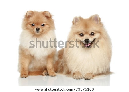 Two Pomeranian Spitz puppy resting on a white background