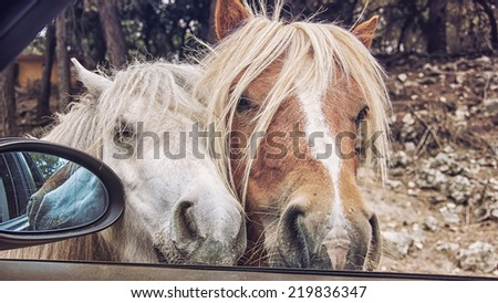 Two ponies trying to get inside the car during the safari ride in Aitana Park, Costa Blanca, Spain