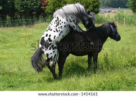 horse mating pony image search results