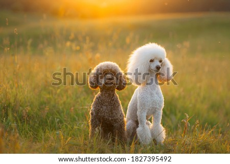 Photo of  two poodles on the grass. Pet in nature. Cute dog like a toy