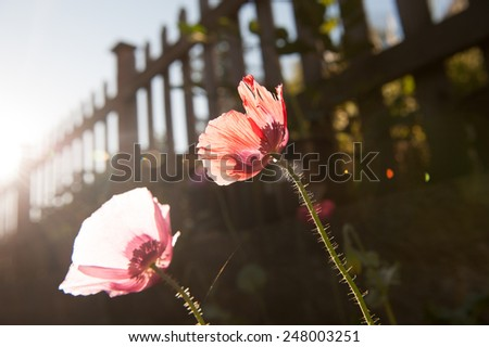 Two poppies blooming in the early summer morning at backyard garden
