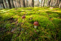 Two porcini mushrooms on a green meadow in the forest. Ecotourism in a beautiful forest. Mushrooms with beautiful caps on the background of the forest