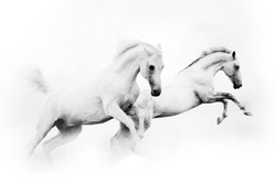 two powerful snow white horses jumping over a white background