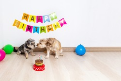 Two precocious dogs celebrating their birthday with cake and party decorations