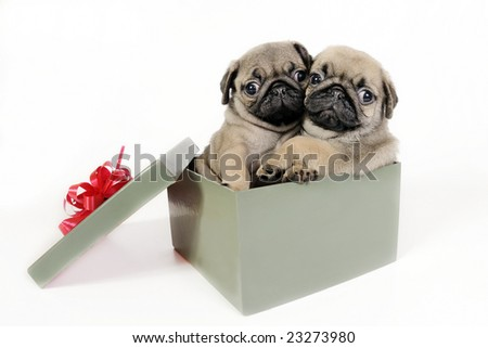 Two pug puppies in a gift box.