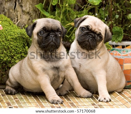 Two pug puppies sitting