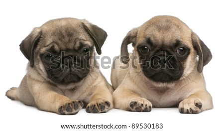 Two Pug puppies, 8 weeks old, in front of white background
