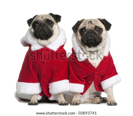 Two Pugs in Santa coats, 1 and 2 years old, sitting in front of white background