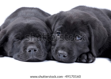 Black  Puppies on Two Puppies Black Labrador Retriever  One Sleeps  Another Looks Stock
