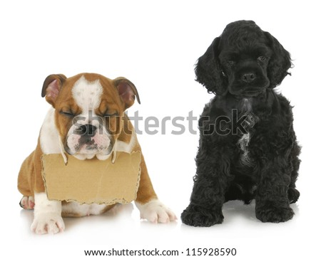 two puppies cocker spaniel and english bulldog puppy with sign around neck 7 weeks old