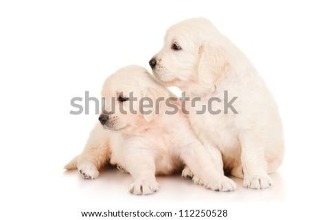 Two puppies golden retriever