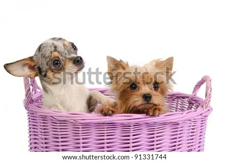 Two puppies in a basket - yorkshire terriers and chihuahua