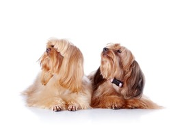 Two puppies of a decorative doggie. Decorative dogs. Puppies of the Petersburg orchid on a white background