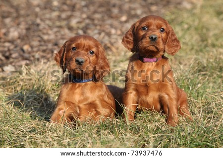 Irish Setter Puppies on Setter Young Irish Setter Dog Puppy 4 Find Similar Images