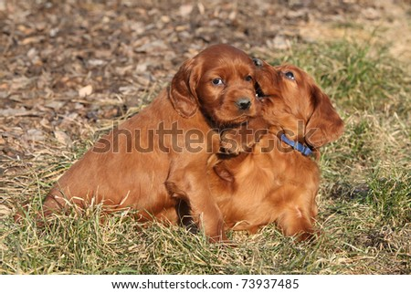 Two puppies of Irish Red Setter