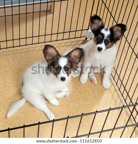Two puppies papillon in a cage for small dogs