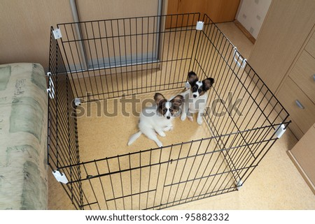 Two puppies papillon in a cage for small dogs - stock photo
